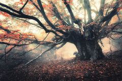 Gammalt magiskt träd med stora filialer och apelsinsidor i dimma arkivfoto