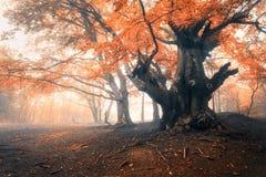 Gammalt magiskt träd med stora filialer och orange och röda sidor royaltyfri bild