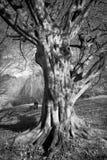 Gammalt magiskt träd Arkivfoto