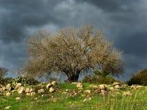 Gammalt mandelträd Royaltyfria Bilder