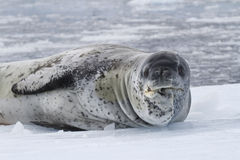 Gammalt manligt leopardhav som vilar på isen Royaltyfria Bilder