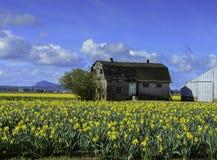 Gammalt mjölka ladugården i påskliljafält under Tulip Festival Royaltyfria Bilder