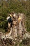 Gammalt moddering träd arkivbilder
