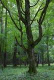Gammalt monumentalt avenbokträd (Carpinus Betulus) royaltyfria foton