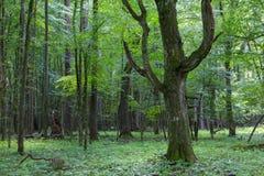 Gammalt monumentalt avenbokträd (Carpinus Betulus) arkivbild