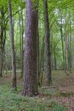 Gammalt monumentalt sörjer trädet i sommar royaltyfri bild