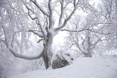 Gammalt monumentalt träd med många filialer på dimmig vinterdag arkivfoto