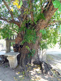 Gammalt mullbärsträdträd Royaltyfri Fotografi