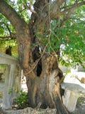 Gammalt mullbärsträdträd Arkivbild