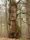 Gammalt mystiskt höstträd med sidor och mossa fotografering för bildbyråer