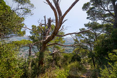 Gammalt mystiskt träd i den fotvandra banan till den övergav fästningen av Sutomore Royaltyfri Foto