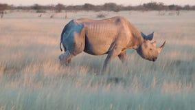 Gammalt noshörningslut som går upp fältet Etosha Namiba Afrika arkivfilmer