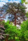 Gammalt och sällsynt libanesiskt cederträ Fotografering för Bildbyråer