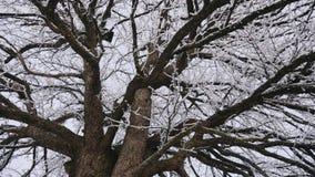 Gammalt och stort päronträd i vintertiden stock video