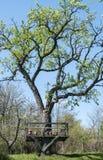 Gammalt päronträd arkivbild