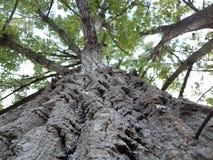 Gammalt poppelträd Arkivbilder