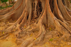 gammalt rotar treen Royaltyfri Fotografi