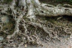 gammalt rotar treen Arkivbilder
