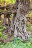 gammalt rotar treen Arkivfoto