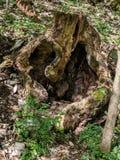 Gammalt ruttet träd som ser kusligt arkivbild