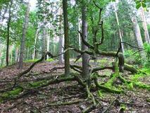 Gammalt ryckt upp träd i skogen Arkivbilder