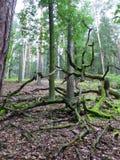 Gammalt ryckt upp träd på skoggolvet Royaltyfria Foton