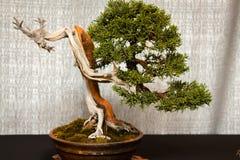 Gammalt sörja bonsaiträdet på skärm royaltyfri foto
