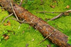 Gammalt sörja inloggningen mossan i skogen Royaltyfria Foton