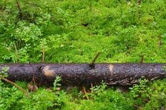 Gammalt sörja inloggningen mossan i skogen Arkivbilder