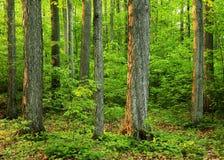 gammalt sakralt för skogdungetillväxt Arkivfoto