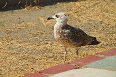 Gammalt se för seagull Arkivbilder