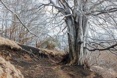 Gammalt skalligt träd i skog royaltyfri foto