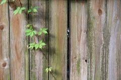 Gammalt staket med vinrankan som växer ner den royaltyfria foton