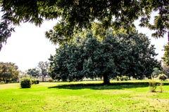 Gammalt stort träd i parkera Fotografering för Bildbyråer