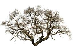 Gammalt stort träd som isoleras med vit bakgrund Arkivbild