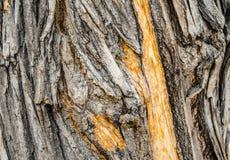 Gammalt stort trädskäll Arkivfoton
