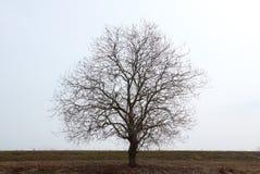 Gammalt svart träd i tidig vår mot himmel Arkivbilder