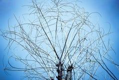 Gammalt torrt träd med filialer och inga sidor mot en blå himmel som Royaltyfri Bild