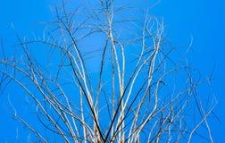 Gammalt torrt träd med filialer och inga sidor mot en blå himmel som royaltyfri foto