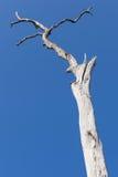 Gammalt torrt träd på bakgrunden för blå himmel Royaltyfri Foto
