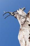 Gammalt torrt träd på bakgrunden för blå himmel Royaltyfri Bild