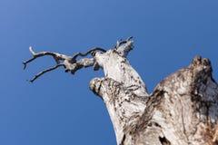 Gammalt torrt träd på bakgrunden för blå himmel Arkivfoto