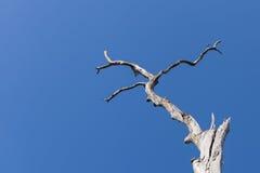Gammalt torrt träd på bakgrunden för blå himmel Arkivfoton