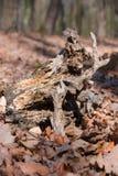 gammalt trä Arkivfoto