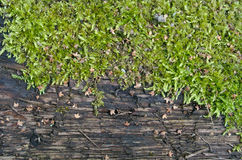 gammalt trä för moss Fotografering för Bildbyråer