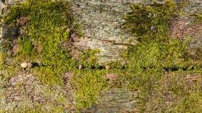 Gammalt trä med mossa Arkivbilder