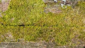 Gammalt trä med mossa Arkivbild