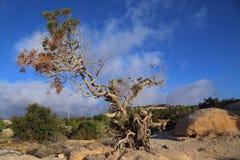 Gammalt träd Fotografering för Bildbyråer