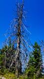 Gammalt träd Royaltyfri Fotografi