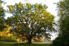 Gammalt träd. Fotografering för Bildbyråer